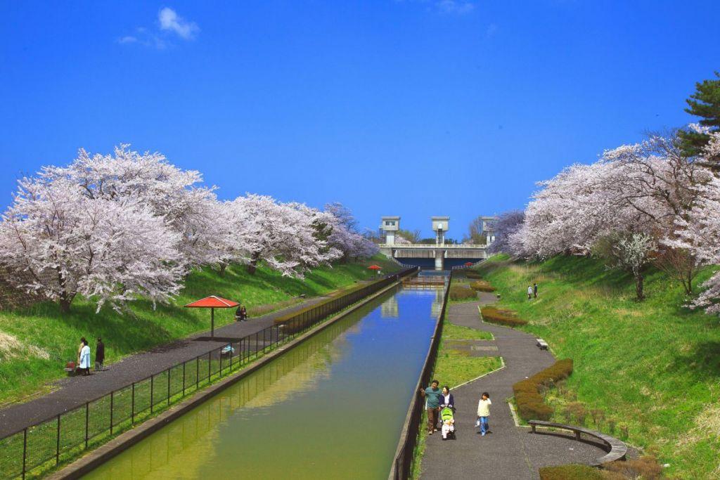 新潟・鷲ノ木大通川の両岸にある桜遊歩道公園